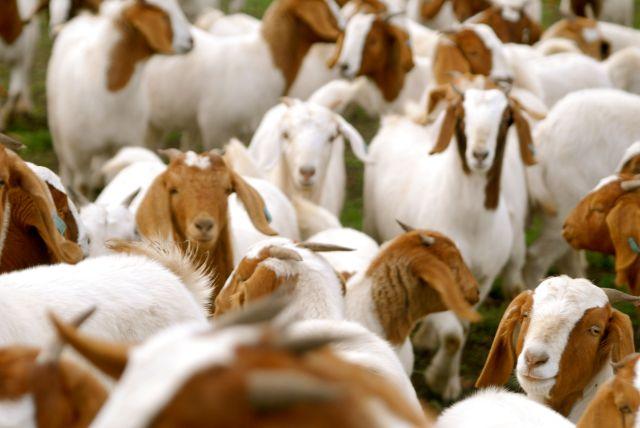 Seven Hills Tallarook goats